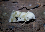 11177 - Schinia nundina; Goldenrod Flower Moth