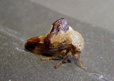 Telamona decorata; Treehopper species
