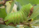 7757 - Antheraea polyphemus; Polyphemus Moth caterpillar