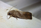 3127 - Eucosma sombreana; Tortricid Moth species