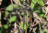 Aeshna umbrosa; Shadow Darner; male