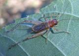 Anaxipha exigua; Say's Trig; male