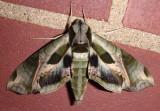 7859 - Eumorpha pandorus; Pandora Sphinx