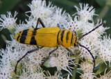 Megacyllene decora; Amorpha Borer