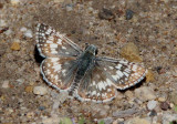 Pyrgus communis; Common Checkered Skipper