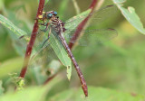 Stylurus plagiatus; Russet-tipped Clubtail; female