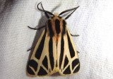 8169 - Apantesis phalerata; Harnessed Tiger Moth