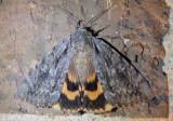 8778 - Catocala habilis; Habilis Underwing
