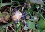 Araneus trifolium; Shamrock Orbweaver; female