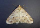 6665 - Erannis tiliaria; Linden Looper Moth
