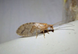 Micromus posticus; Brown Lacewing species