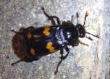 Nicrophorus orbicollis; Roundneck Sexton Beetle