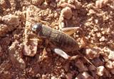 Gryllus Field Cricket species; male