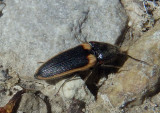 Ampedus sellatus; Click Beetle species