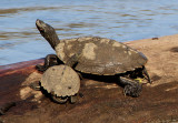 False Map Turtles