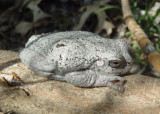 Gray/Copes Tree Frog