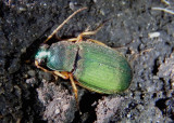 Chlaenius sericeus; Vivid Metallic Ground Beetle species