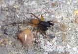 Trabeops aurantiacus; Wolf Spider species