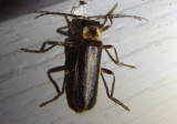 Podabrus basillaris; Soldier Beetle species