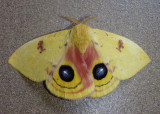 7746 - Automeris io; Io Moth; male