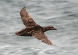 Common Eider; female