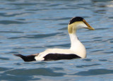 Common Eider; male