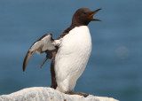 Common Murre; breeding