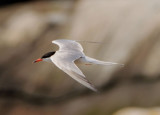 Common Tern; breeding