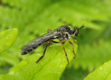 Dioctria hyalipennis; Robber Fly species