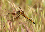Erythrodiplax berenice; Seaside Dragonlet; female