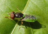 Odontomyia cincta; Soldier Fly species; male