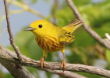Yellow Warbler; male