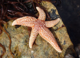 North Atlantic Sea Star