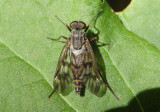 Rhagio mystaceus; Common Snipe Fly; male