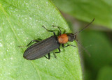Asclera ruficollis; Red-necked False Blister Beetle