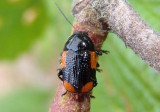 Cryptocephalus quadruplex; Case-bearing Leaf Beetle species