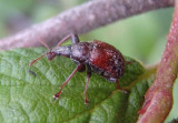 Himatolabus pubescens; Leaf-rolling Weevil species
