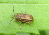 Ophraella conferta; Leaf Beetle species
