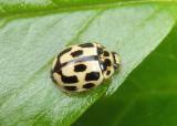 Propylea quatuordecimpunctata; Fourteen-spotted Lady Beetle; exotic