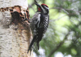 Yellow-bellied Sapsucker; male