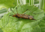 Nephrotoma pedunculata; Tiger Crane Fly species