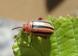 Disonycha caroliniana; Flea Beetle species