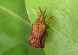 Baliosus nervosus; Basswood Leaf Miner