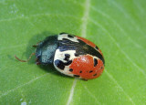 Calligrapha rowena; Leaf Beetle species