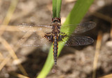 Epitheca semiaquea; Mantled Baskettail; male