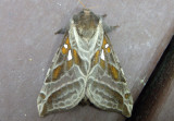 0018 - Sthenopis argenteomaculatus; Silver-spotted Ghost Moth