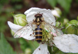 Meliscaeva cinctella; Syrphid Fly species