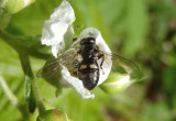 Pipiza quadrimaculata; Syrphid Fly species