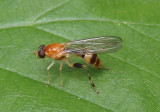 Sphegina Syrphid Fly species
