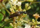Analeptura lineola; Flower Longhorn species